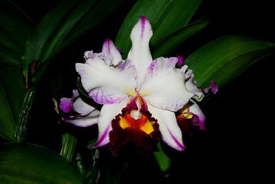 Flower - Orchid - Laeliocattleya Dorothy Wayne 'Tricolor' x Brassolaeliocattleya Toshie Aoki 'Pizazz'