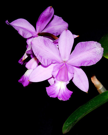 Flower - Orchid - Laelia