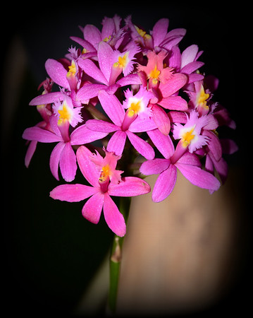 Flower - Orchid - Epidendrum Rose Valley