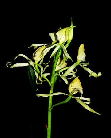 Flower - Orchid - Encyclia cochleata