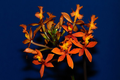 Flower - Orchid - Encyclia radicans
