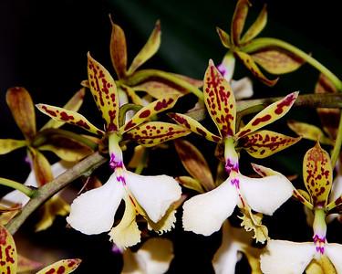 Flower - Orchid - Epidendrum stamfordianum x self