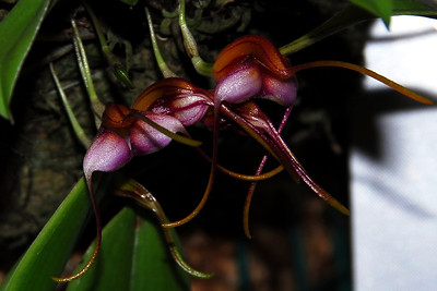 Flower - Orchid - Masdevallia hartmanii