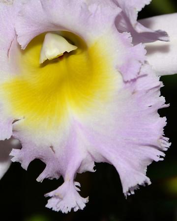 Flower - Orchid - Laeliocattleya