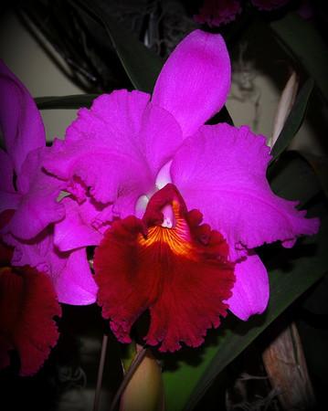 Flower - Orchid - Laeliocattleya Sharon Shutty Wright 'Anchor's Away'