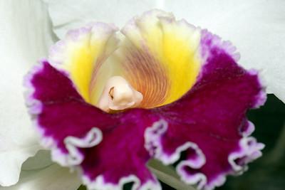 Flower - Orchid - Laeliocattleya Ida Elizabeth 'Patrick'