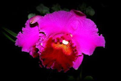 Flower - Orchid - Laeliocattleya Ken Stromsland 'Eric'