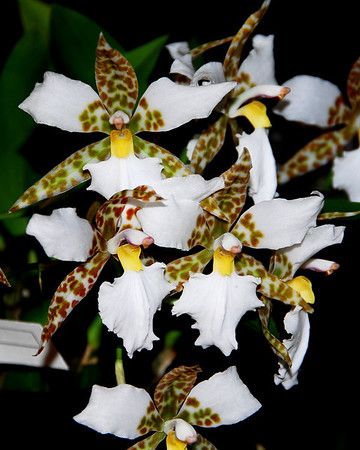 Flower - Orchid - Lemboglossum rossii