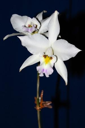 Flower - Orchid - Laelia anceps var oaxaquena