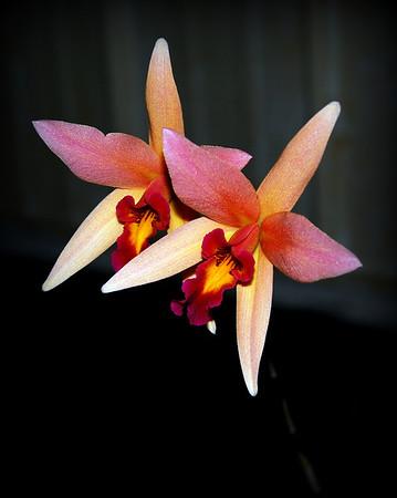 Flower - Orchid - Laelia Santa Barbara 'Sunset'
