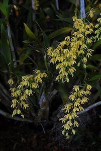 © Joseph Dougherty. All rights reserved.   Dendrobium gracillimum (D. gracillicaule x D. speciosum)