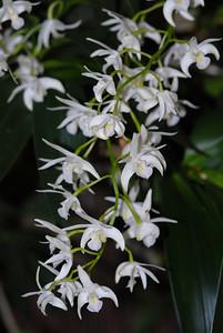© Joseph Dougherty. All rights reserved.   Dendrobium kingianum var. alba
