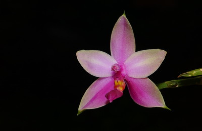 © Joseph Dougherty. All rights reserved.   Phalaenopsis violacea 'Sumatra'  H.Witte