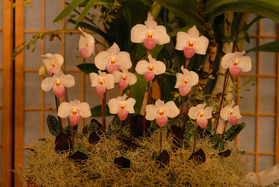 © Joseph Dougherty. All rights reserved.   A group of blooming Paphiopedilum delenatii on display.