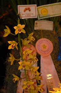 © Joseph Dougherty. All rights reserved.   Cymbidium Gladys Whitesell 'EpiGarden' (C. Fifi x C. parishii).   Best Cymbidium in Show, Pacific Orchid Exposition 2010