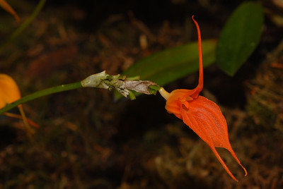 "© Joseph Dougherty. All rights reserved.   Masdevallia ingridiana (Ecuador).    Flower Size 1.2"" [3 cm]  Found in southern Ecuador at elevations around 1000 meters as a miniature to small sized, warm growing epiphyte with slender, erect, ramicauls enveloped basally by 2 to 3 tubular sheaths and carrying a single, apical, erect, coriaceous, narrowly obovate, obtuse, cuneate basally into the petiolate base leaf that blooms on a erect, slender, triquetrous, racemose, singly successively few flowered 6 to 7"" [15 to 17.5 cm] long inflorescence arising from low on the ramicaul with tubular, imbricating floral bracts.  Synonyms Alaticaulia ingridiana (Luer & J.Portilla) Luer 2006"