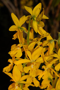 © Joseph Dougherty. All rights reserved.    Calanthe sieboldii Siebold's Calanthe   From Taiwan