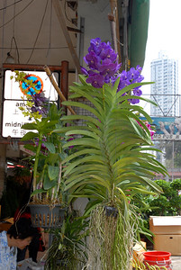 © Joseph Dougherty. All rights reserved.   A blooming Vanda for sale at the Hong Kong flower market.