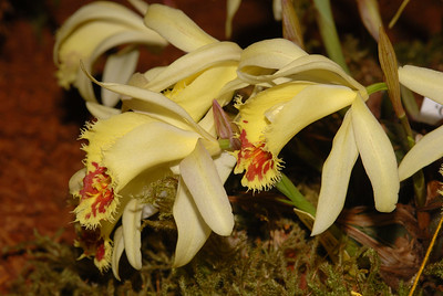 © Joseph Dougherty. All rights reserved.   Pleione confusa 'Golden Gate' HCC/AOS