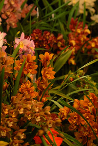 © Joseph Dougherty. All rights reserved.   An assortment of Cymbidium hybrids.