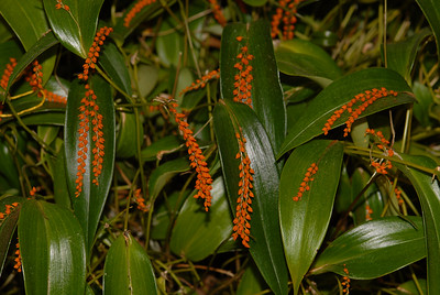 © Joseph Dougherty. All rights reserved.   Pleurothallis truncata