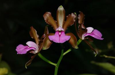 © Joseph Dougherty. All rights reserved.  Cattleya brasiliensis   Brazilian Cattleya