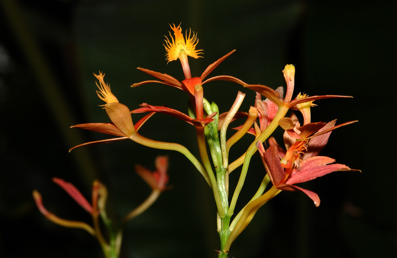 © Joseph Dougherty. All rights reserved.  Epidendrum ibaguense   Reedstem Epidendrum