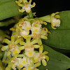 © Joseph Dougherty. All rights reserved.  Gastrochilus japonica    Kashinokiran
