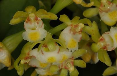 © Joseph Dougherty. All rights reserved.  Gastrochilus japonica    Kashinokiran
