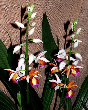 Flower - Orchid - Phaius Dan Rosenberg 'Tropical Ice'