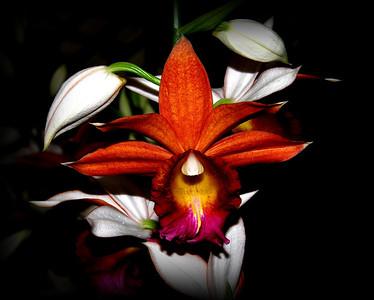 Flower - Orchid - Phaius Dan Rosenberg 'Tropical Ice' Orange With Purple & Yellow Lip