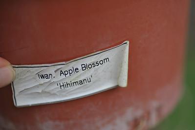 Iwanagara Appleblossom 'Hihimanu'