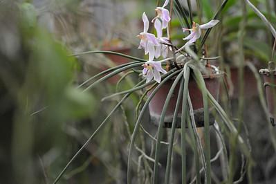Paraphalaenopsis laycokii