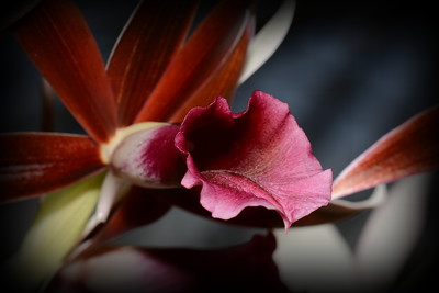 Flower - Orchid - Phaius tankervilleae 'Rabin's Raven'