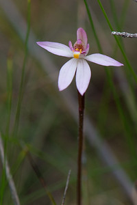 Caladenia species of some description... My ability to work it out has vanished from my brain currently  30th October 2017 - Peter Murrell Reserve  © Fiona Gumboots  - All images are copyright and not to be reproduced, distributed, published, altered, manipulated or used without my permission.  Sharing via the 'share' button on facebook is more than welcome.  http://thegumbootchronicles.com/