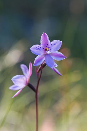 Another Thelymitra who I am not going to attempt to name….  Peter Murrell Reserve  14th November 2017  © Fiona Gumboots  - All images are copyright and not to be reproduced, distributed, published, altered, manipulated or used without my permission.  Sharing via the 'share' button on facebook is more than welcome.  http://thegumbootchronicles.com/