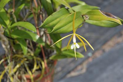 Epidendrum nocturnum, Epidendrum carpophorum