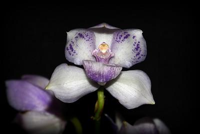 Flower - Orchid - Pabanisia Eve Blue Amazon