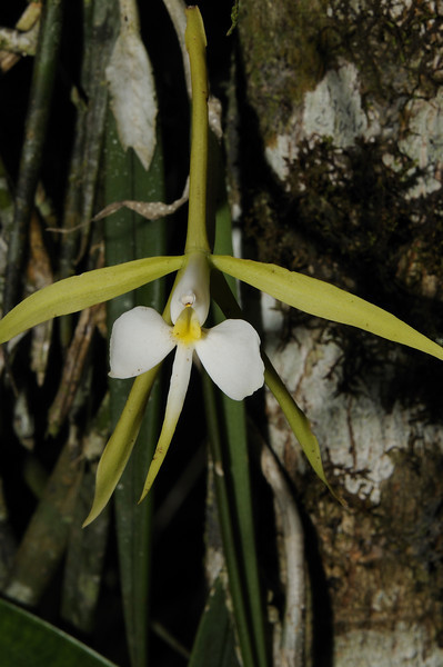 Orchid (8)