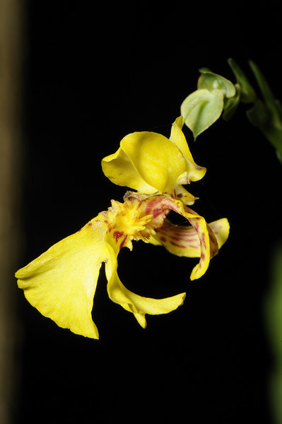 Orchid (20)