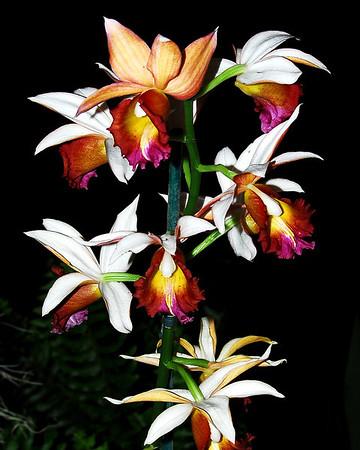 Flower - Orchid - Phaius Dan Rosenberg 'Mellow Yellow'