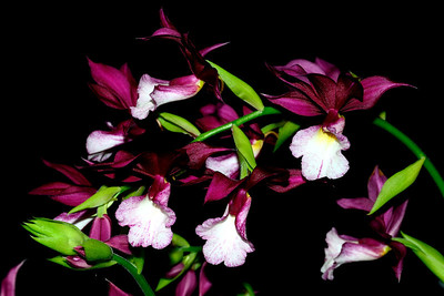 Flower - Orchid - Phaiocalanthe Kryptonite 'Blood Bath'