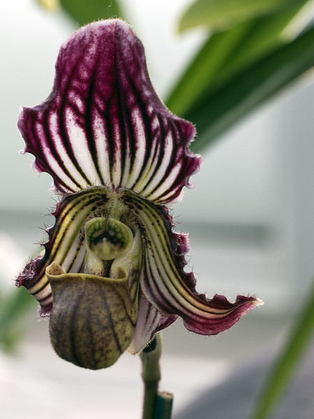 Entrant in St Paul Winter Carnival Orchid Show @ Como Park Conservatory - January, 2018