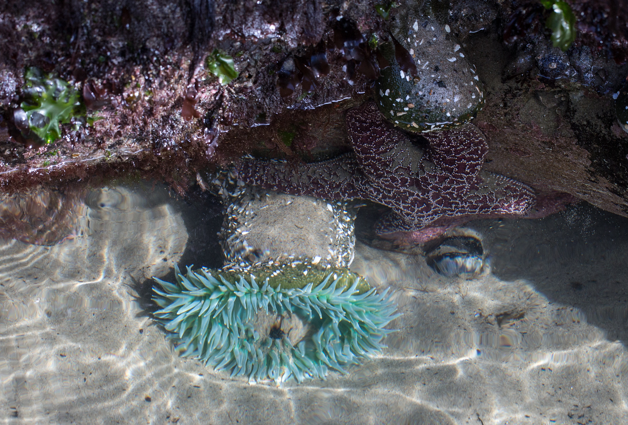 green sea anemone<br /> Anthopleura xanthogrammica (Giant green anemone)