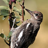 Red-naped Sapsucker 2