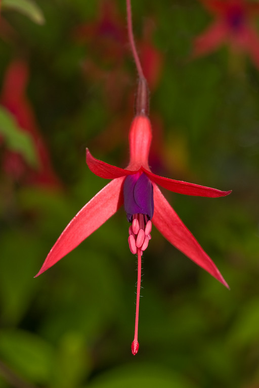 Fuschia<br /> Waldport, OR