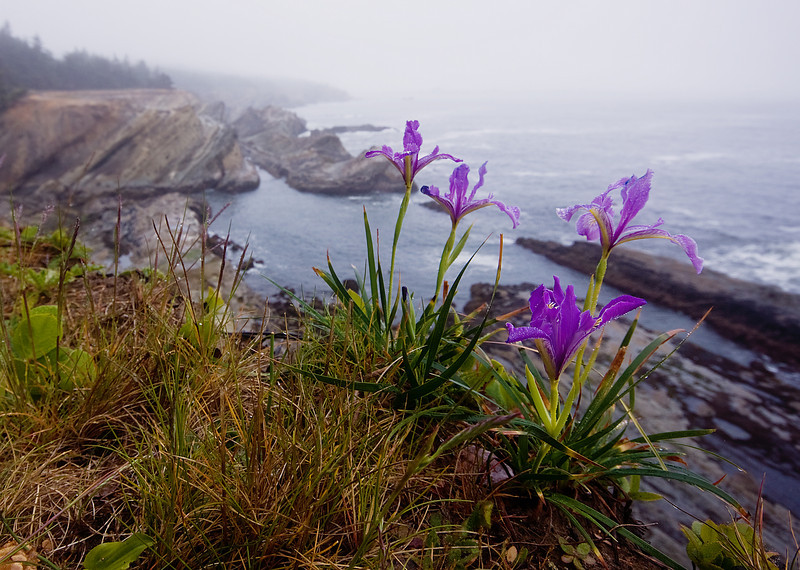 Oregon Iris<br /> Shore Acres State Park