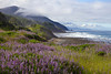Wild Perennial Lupin (Sundial lupine, Lupinus perennis) thrive along the Oregon Coast at Rocky Point near Port Orford.
