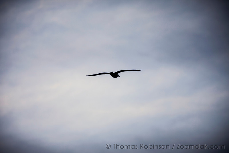 A lone Pacific Gull (Larus pacificus) soars above the shores on the Oregon Coast.