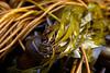 Bull Kelp Macro
